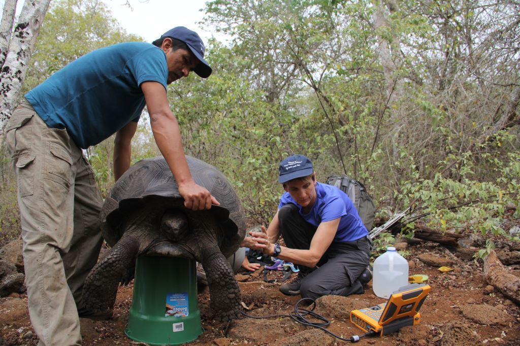 Sharon L. Deem, DVM, PhD, (right) director of the Institute for Conservation Medicine at the Saint Louis Zoo, assesses a giant Galápagos tortoise. The zoo, Washington University and the State University of New York are working together to assist Galápagos National Park in conserving the giant tortoises.