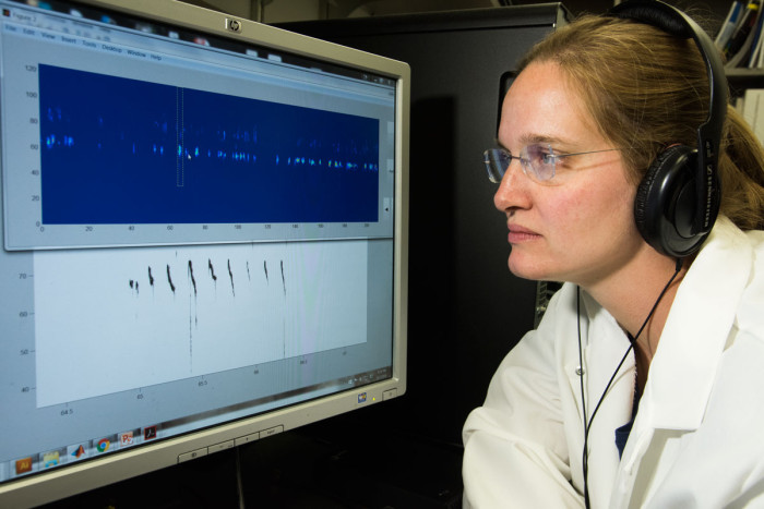 Senior scientist Terra Barnes, PhD, listens to a recording of mouse vocalizations, modified to bring the pitch within the human auditory range, while watching a visual representation of the recording. Analysis of recordings from dozens of mice showed that mice carrying a mutation in a disease associated with stuttering in humans had more pauses and repetitions in their vocalizations, similar to human stuttering.