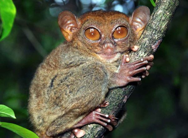 Tarsiers – tiny, carnivorous primates – are our distant cousins, according to scientists at Washington University School of Medicine in St. Louis, who sequenced and analyzed the tarsier genome. Their findings place tarsiers on the branch of the primate evolutionary tree that also leads to monkeys, great apes and humans.