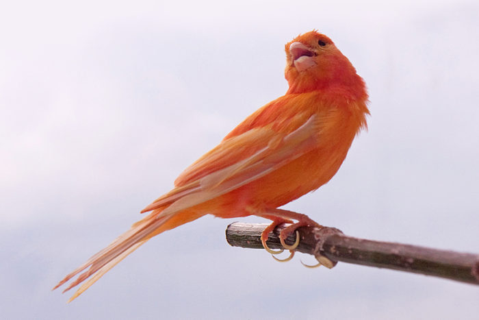 How Did Cardinals Get Those Bright Red Feathers
