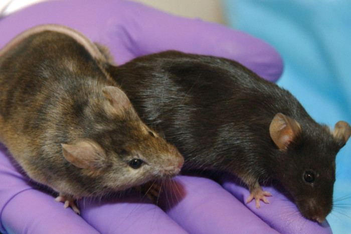 implantable-LED-mice