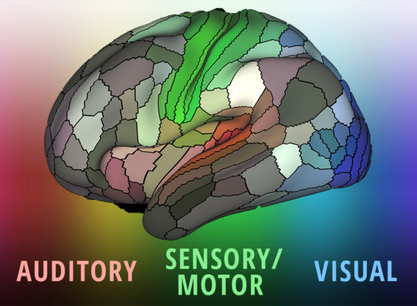 A detailed new map by researchers at Washington University School of Medicine in St. Louis lays out the landscape of the cerebral cortex – the outermost layer of the brain and the dominant structure involved in sensory perception and attention, as well as distinctly human functions such as language, tool use and abstract thinking.