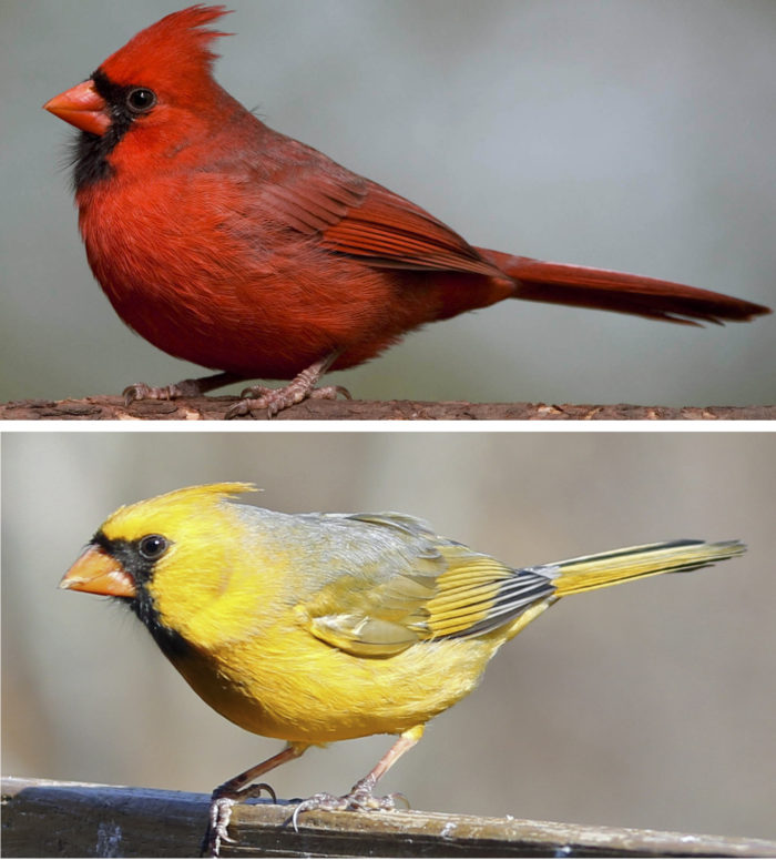 Scientists have identified the gene that allows birds, such as the cardinal, to make red feathers. Rare yellow cardinals with defects in the production of red coloration are sometimes seen in the wild.